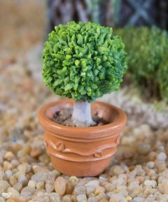 Miniature Planted Baytree