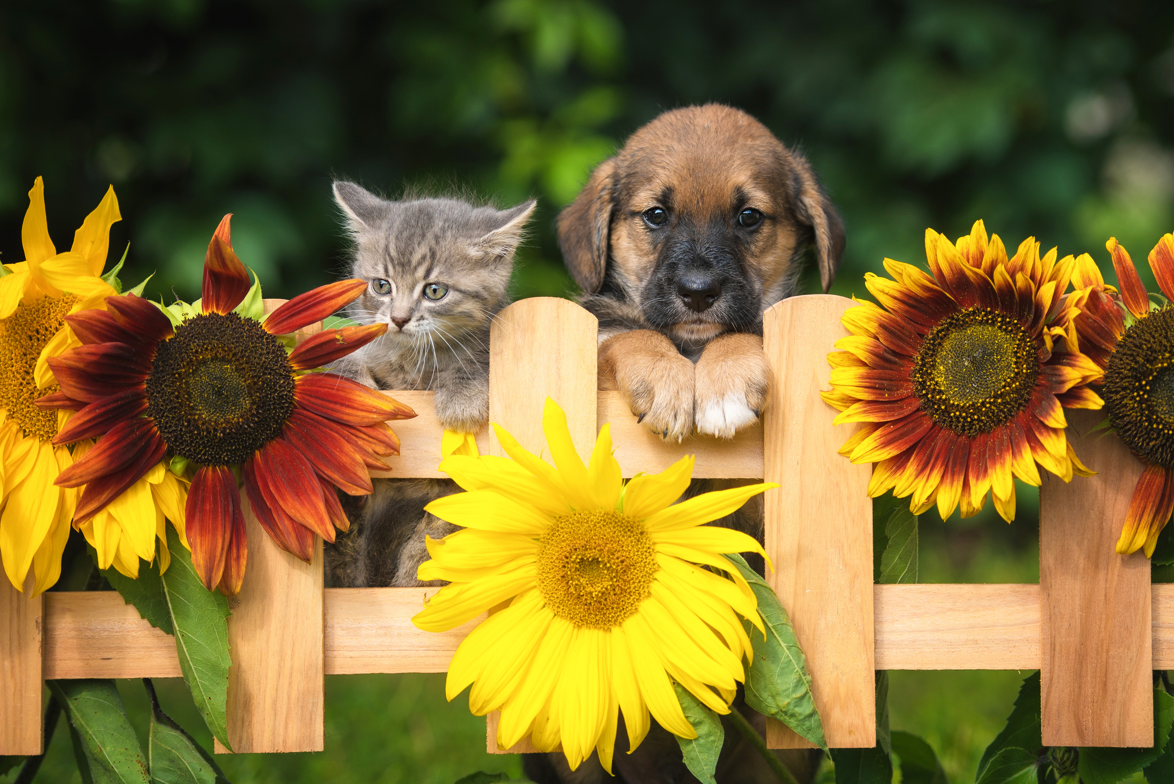 A puppy and kitten surrounded by sunflowers.
