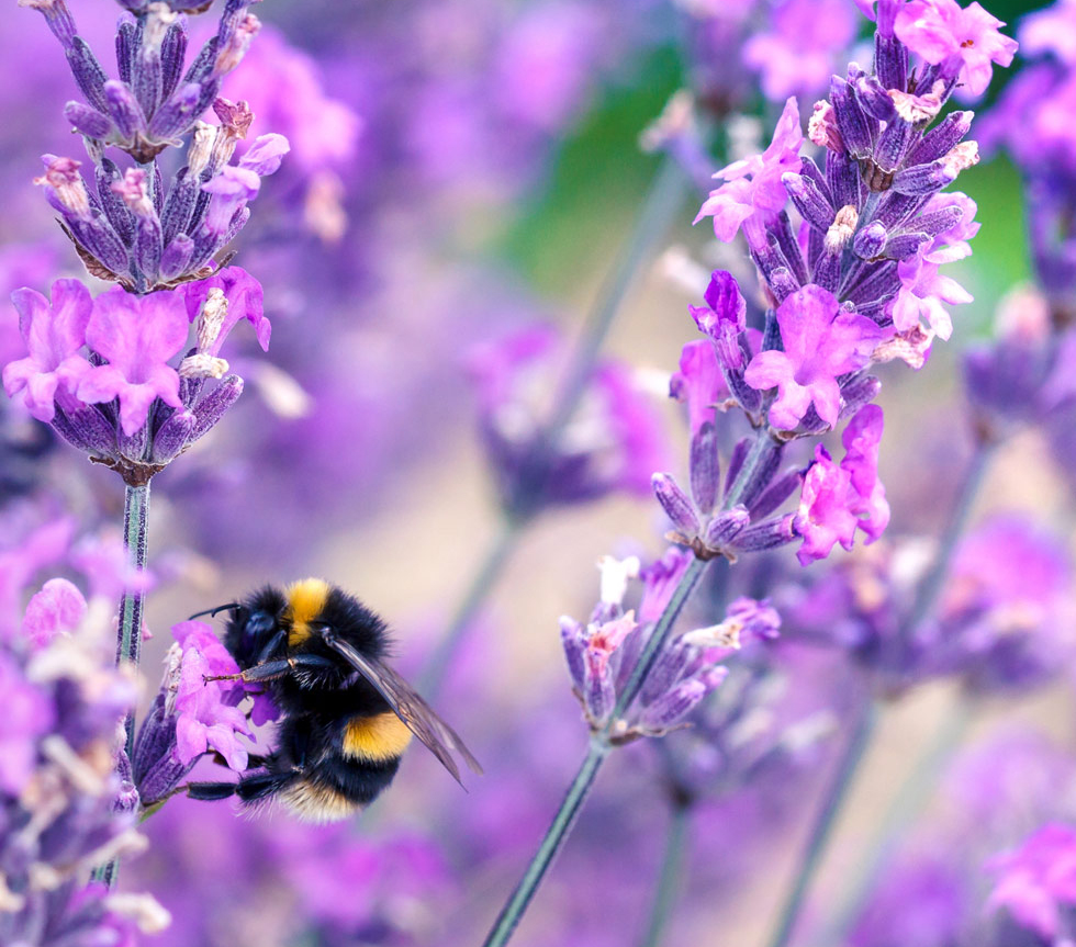 A bee on some lavender.