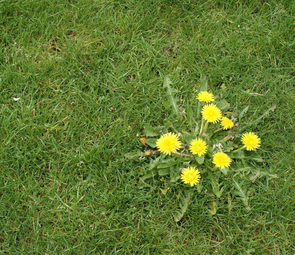 A dandelion patch on a lawn.